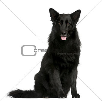 Groenendael sitting in front of a white background