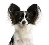 Close-up of a Papillon in front of a white background