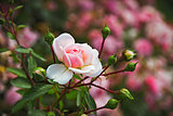 Pink Rose Bush in the summer garden