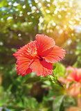 Red hibiscus flower in Okinawa island.