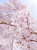 Cherry blossom of Rikugien Garden in Tokyo.