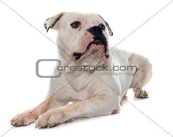 adult american bulldog