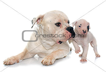 adult and puppy american bulldog