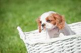 spaniel in a basket