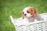 spaniel in a basket