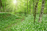 Wild garlic in the deep forest.