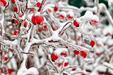 Frozen rose hips on bush