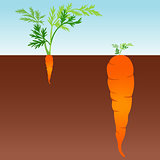 Large and small carrot