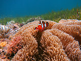 Clownfish in Malapascua, Philippines