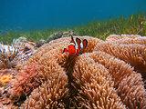 Clownfish in Malapascua, Philippines