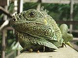Iguana in Belize, San Ignacio
