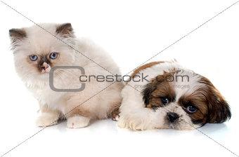 british longhair kitten and puppy