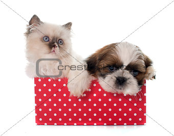 british longhair kitten and puppy