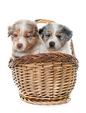 puppies australian shepherds