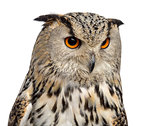 Close-up of a Siberian Eagle Owl - Bubo bubo (3 years old) in fr
