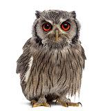 Northern white-faced owl - Ptilopsis leucotis (1 year old) in fr