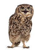 Spotted eagle-owl - Bubo africanus (4 years old) in front of a w