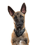 Close-up of a Belgian Shepherd in front of a white background