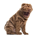 Sharpei yawning in front of a white background