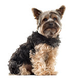 Yorksire Terrier sitting in front of a white background