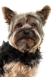Close-up of a Yorksire Terrier in front of a white background