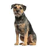 Border terrier sitting in front of a white background