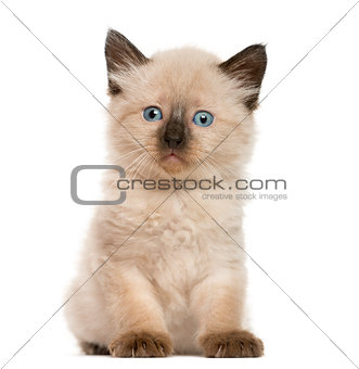 Kitten in front of white background