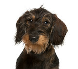 Close-up of a Dachshund in front of white background