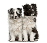 Shetland Sheepdog puppies sitting in front of a white background