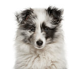 Close-up of a Shetland Sheepdog puppy in front of a white backgr