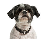 Close-up of a Shih Tzu in front of a white background