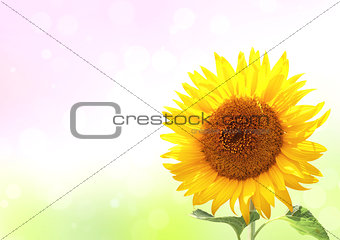 Bright yellow sunflower on sunny background