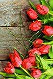 Magenta Spring Tulips
