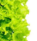 Fresh Green Lettuce