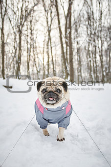 Little Funny Pug Outdoors