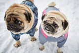 Two little pugs in winter