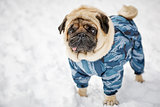 Little pug in winter