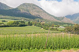 Hops next to the road above the Outeniqua Pass