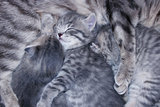 little kittens of Scottish Fold sleep