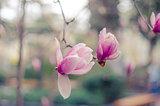 Magnolia flowers in Yalta. Pink magnolia flowers