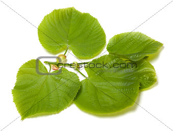 Green linden-tree leafs on white background
