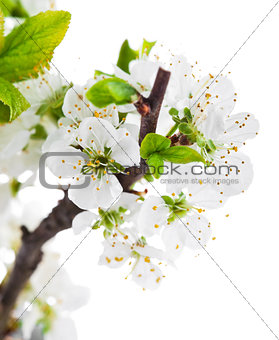 Branch blooming tree with green leaves spring still life