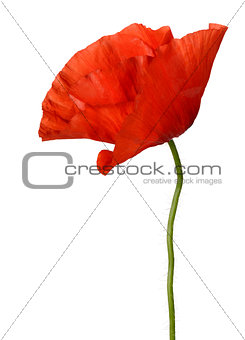 Single poppy flower