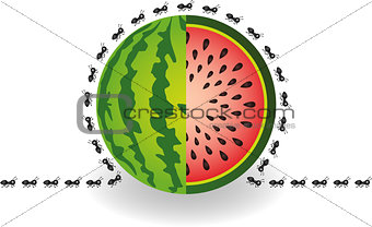 Ants around watermelon