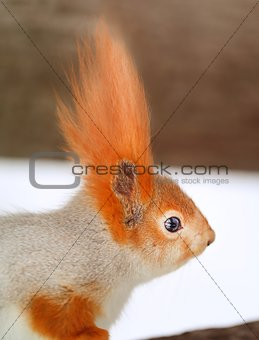 Beautiful portrait of a squirrel