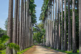 Tall Palm Trees - Rio de Janeiro