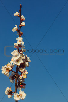 Apricot branches during flowering.