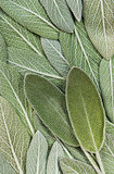 Salvia (sage, also called garden sage, or common sage)