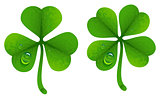 Clover leaves with drops of dew. Lucky Clover leaf. Four-leaf and trifoliate clover