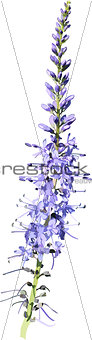 lavender purple flower